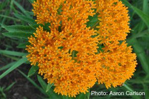 Asclepias tuberosa - photo by Aaron Carlson