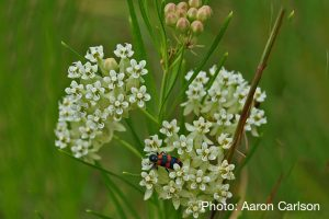 Asclepias verticillata - photo by Aaron Carlson