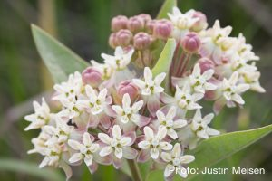 Asclepias ovalifolia - photo by Justin Meisen