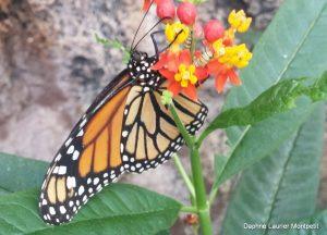All monarchs are orange… | Mission Monarque